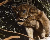 Samedi 5 Juillet à 22h, à Gerland, La chasse au lion à l'arc de Jean Rouch